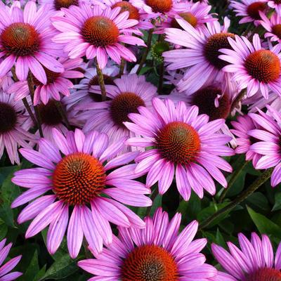 Echinacea purpurea 'The King' -