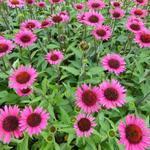 Echinacea purpurea 'Vintage Wine' - Rode zonnehoed - Echinacea purpurea 'Vintage Wine'