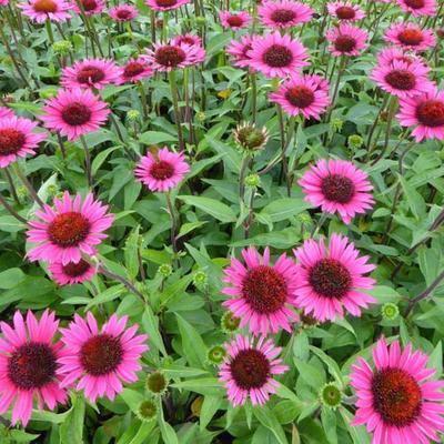 Echinacea purpurea 'Vintage Wine' -