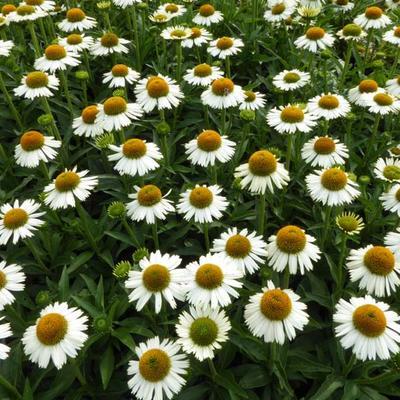 Echinacea 'White Meditation' -