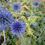 Echinops bannaticus 'Blue Globe' - Kogeldistel - Echinops bannaticus 'Blue Globe'