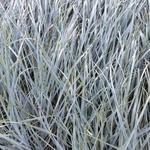 Elymus magellanicus - Zandhaver - Elymus magellanicus