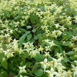 Epimedium 'Flowers of Sulphur' - Elfenbloem