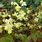 Epimedium pinnatum 'Black Sea' - Elfenbloem - Epimedium pinnatum 'Black Sea'