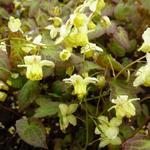 Epimedium x versicolor 'Sulphureum' - Elfenbloem - Epimedium x versicolor 'Sulphureum'