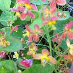 Epimedium warleyense - Elfenbloem - Epimedium warleyense