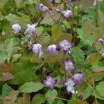 Epimedium x youngianum 'Merlin' - Elfenbloem - Epimedium x youngianum 'Merlin'