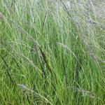 Eragrostis curvula - Eragrostis curvula - Liefdesgras