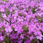 Alpenleverbalsem - Erinus alpinus 'Dr Hähnle'
