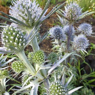 Eryngium bourgatii -