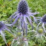 Eryngium bourgatii 'Pen Blue' - Eryngium bourgatii 'Pen Blue' - Kruisdistel