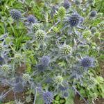 Eryngium planum 'Blauer Zwerg' - Kruisdistel - Eryngium planum 'Blauer Zwerg'