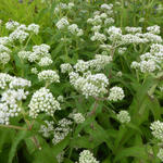 Eupatorium perfoliatum - Koninginnenkruid - Eupatorium perfoliatum