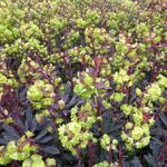 Amandelwolfsmelk - Euphorbia amygdaloides 'Purpurea'