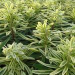 Euphorbia characias subsp. characias 'Burrow Silver' - Wolfsmelk - Euphorbia characias subsp. characias 'Burrow Silver'