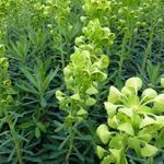 Euphorbia characias subsp. characias 'Humpty Dumpty' - Wolfsmelk - Euphorbia characias subsp. characias 'Humpty Dumpty'