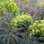 Euphorbia characias 'Purple and Gold' - Wolfsmelk