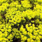 Euphorbia cyparissias   'Clarice Howard' - Cipreswolfsmelk
