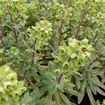 Amandelwolfsmelk - Euphorbia x martinii 'Ascot Rainbow'