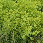 Euphorbia 'Copton Ash' - Euphorbia 'Copton Ash' - Wolfsmelk