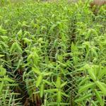 Mollenpant - Euphorbia lathyris