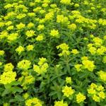 Euphorbia polychroma - Wolfsmelk - Euphorbia polychroma