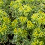 Euphorbia polychroma 'Variegata' - Wolfsmelk - Euphorbia polychroma 'Variegata'