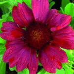 Gaillardia x grandiflora 'Burgunder' - Kokardebloem - Gaillardia x grandiflora 'Burgunder'