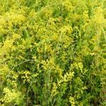 Geel walstro, Echt walstro - Galium verum