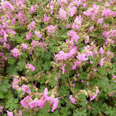 Geranium x cantabrigiense 'Berggarten' - Ooievaarsbek - Geranium x cantabrigiense 'Berggarten'