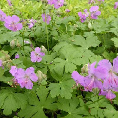 Geranium x cantabrigiense 'Karmina' - Ooievaarsbek - Geranium x cantabrigiense 'Karmina'
