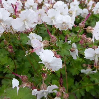 Geranium x cantabrigiense 'St. Ola' - Ooievaarsbek - Geranium x cantabrigiense 'St. Ola'