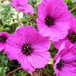 Geranium cinereum 'Giuseppii' - Ooievaarsbek - Geranium cinereum 'Giuseppii'