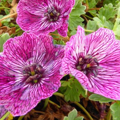 Geranium cinereum 'Jolly Jewel Lilac' -