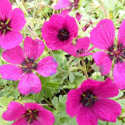 Geranium cinereum 'Jolly Jewel Red' - Ooievaarsbek - Geranium cinereum 'Jolly Jewel Red'