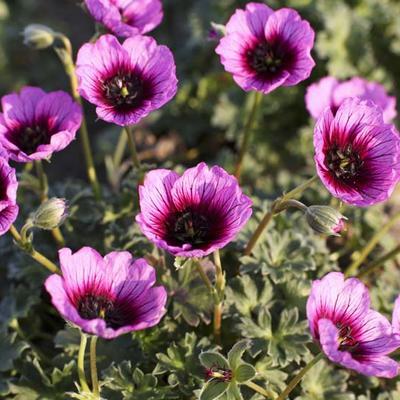 Geranium cinereum 'Jolly Jewel Violet' -