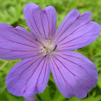 Geranium clarkei 'Kashmir Blue' - Ooievaarsbek - Geranium clarkei 'Kashmir Blue'