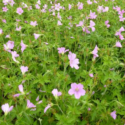 Geranium endressii - Ooievaarsbek - Geranium endressii