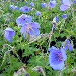 Geranium himalayense - Ooievaarsbek - Geranium himalayense