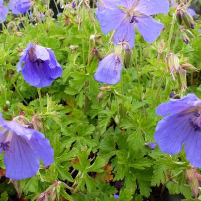 Geranium himalayense 'Irish Blue' -