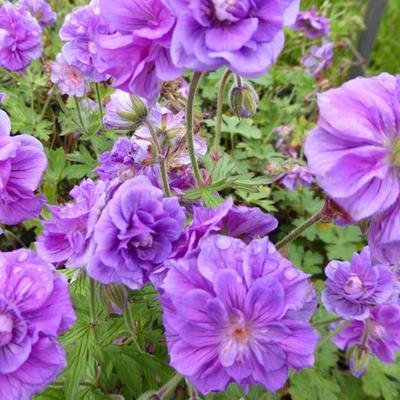 Geranium pratense 'Plenum Violaceum' -