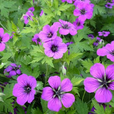 Geranium 'Anne Thomson' - Ooievaarsbek - Geranium 'Anne Thomson'