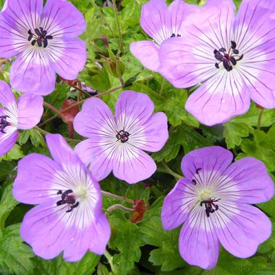 Geranium 'Bloom Time' -