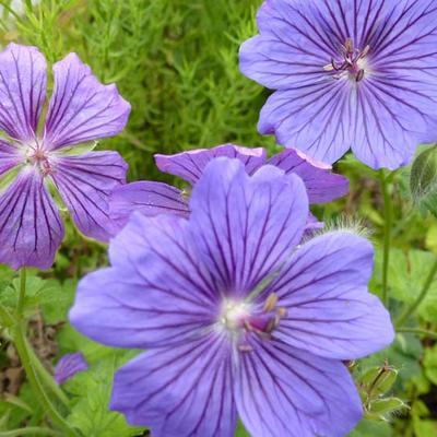Geranium x magnificum 'Blue Blood' -