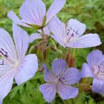 Geranium 'Blue Cloud' - Geranium 'Blue Cloud' - Ooievaarsbek