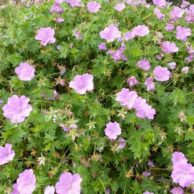 Geranium 'Blushing Turtle' - Ooievaarsbek - Geranium 'Blushing Turtle'