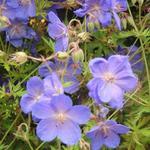 Ooievaarsbek - Geranium 'Brookside'