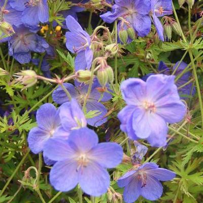 Geranium 'Brookside' - Ooievaarsbek - Geranium 'Brookside'
