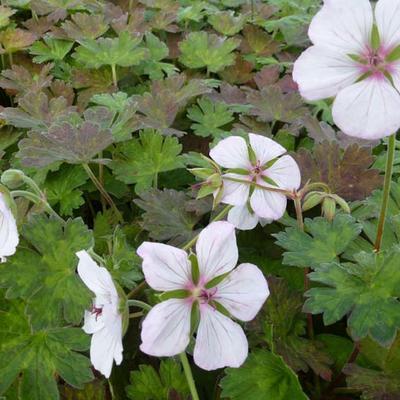 Geranium 'Coombland White' - Ooievaarsbek - Geranium 'Coombland White'