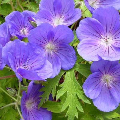 Geranium 'Eureka Blue' - Ooievaarsbek - Geranium 'Eureka Blue'
